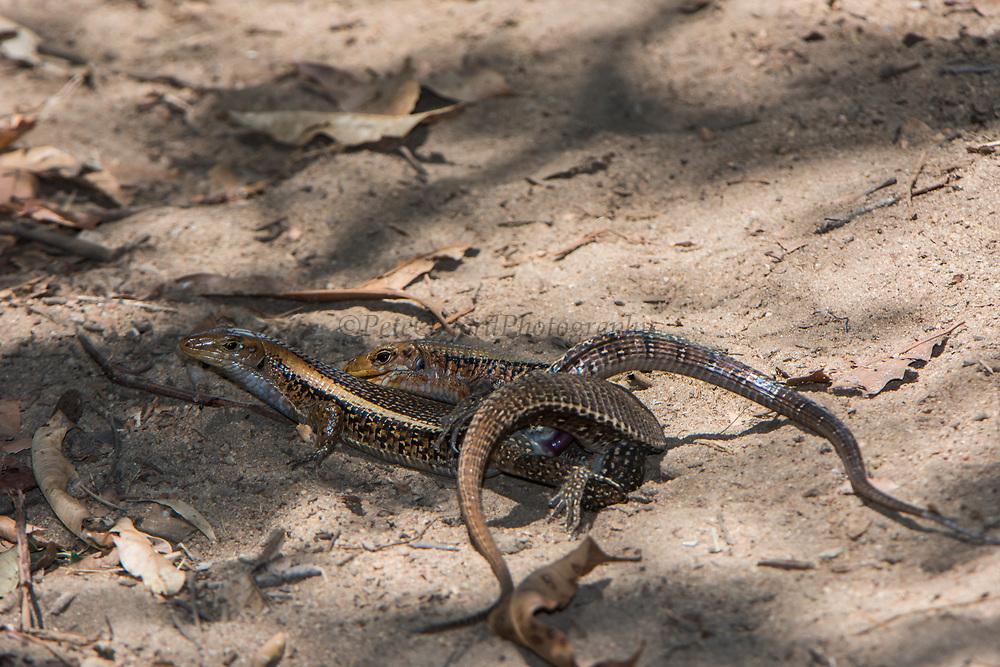 Plated lizard (Zonosaurus laticaudatus)<br /> Ampijoroa<br /> Ankarafantsika Nature Reserve<br /> West Madagascar<br /> MADAGASCAR<br /> ENDEMIC<br /> Mating