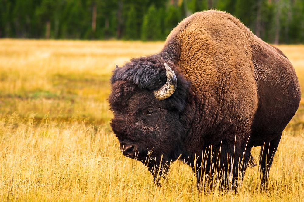 Bison, Yellowstone National Park, Wyoming USA