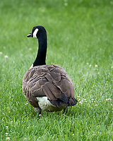 Canada Goose. Image taken with a Nikon 1 V3 camera and 70-300 mm VR lens.
