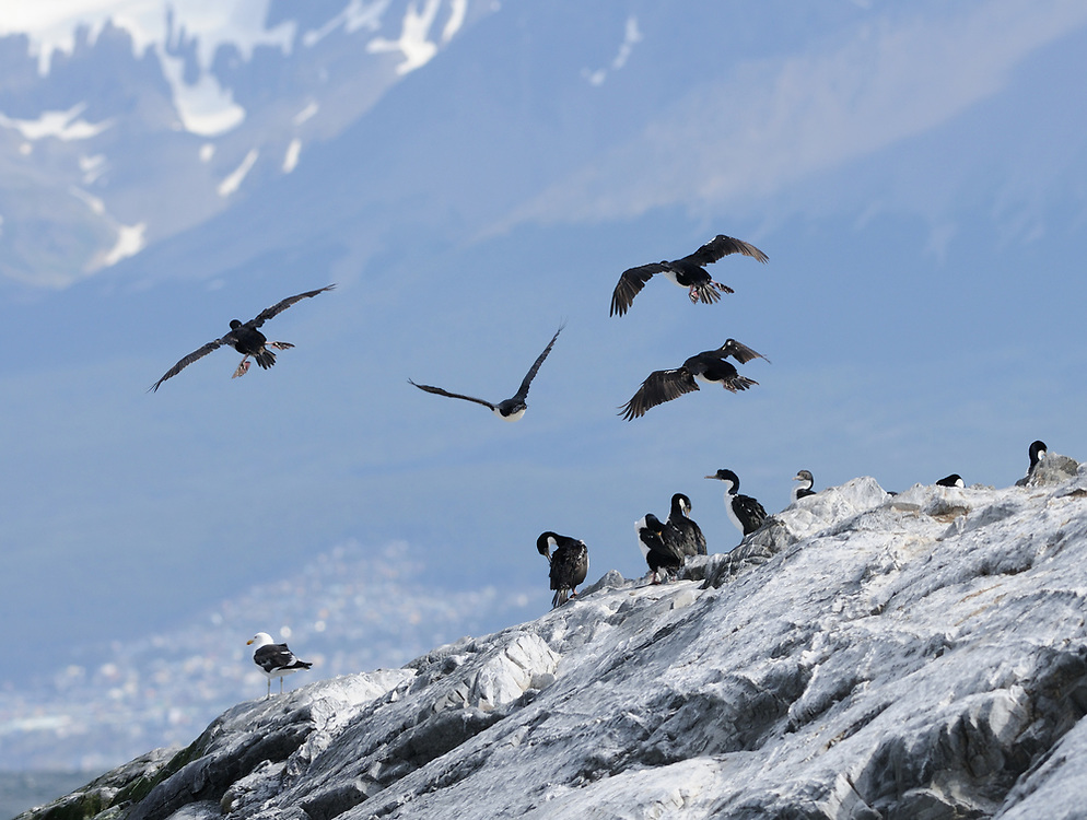 Imperial Shags (Phalacrocorax atriceps) resting and in flight on a rocky island in the Beagle Channel. Ushuaia, Argentina.
