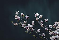 THEMENBILD - Magnolienblüten an einem Baum während der Corona Pandemie, aufgenommen am 17. April 2019 in Hallstatt, Österreich // Magnolia blossoms on a tree during the Corona Pandemic in Hallstatt, Austria on 2020/04/17. EXPA Pictures © 2020, PhotoCredit: EXPA/ JFK