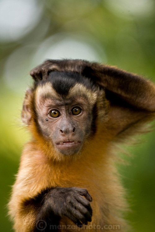 A monkey scratches its head on the banks of the Solimoes River in Mancapuru, Brazil