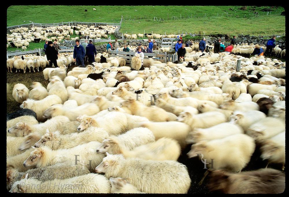 Sheep stir about as farm folks grab and drag them to pens set aside for each farm; Klaustur. Iceland