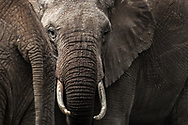 Elephant stands out within the herd. Some are just destined to be so.