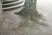base of an old tree beside concrete stairs with just raked ground