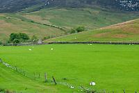Sheep grazing below the Goatfell Highlands of Isle of Arran Scotland