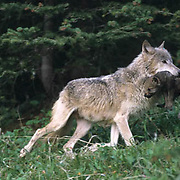Gray Wolf, (Canis lupus) Adult carrying pup to new den sight. Montana.  Captive Animal.
