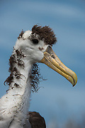 Waved Albatross (Phoebastria irrorata) juvenile<br /> Espanola Island<br /> GALAPAGOS ISLANDS,<br /> ECUADOR.  South America<br /> Endemic