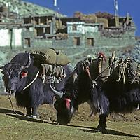 NEPAL, HIMALAYA. Load-bearing yaks graze in Braga Village, north of Annapurna.