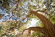 ein avdat, poplar trees near sweet water spring at the negev desert, israel