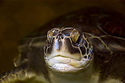 Israel, Maagan Michael beach, Chelonia mydas, green turtle after hatching on their first voyage to the Mediterranean Sea close up of the head May