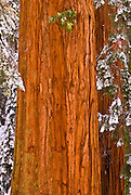 Giant Sequoias (Sequoiadendron giganteum) in winter, Giant Forest, Sequoia National Park, California