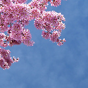Cherry Blossom tree seen in the northeast of the US