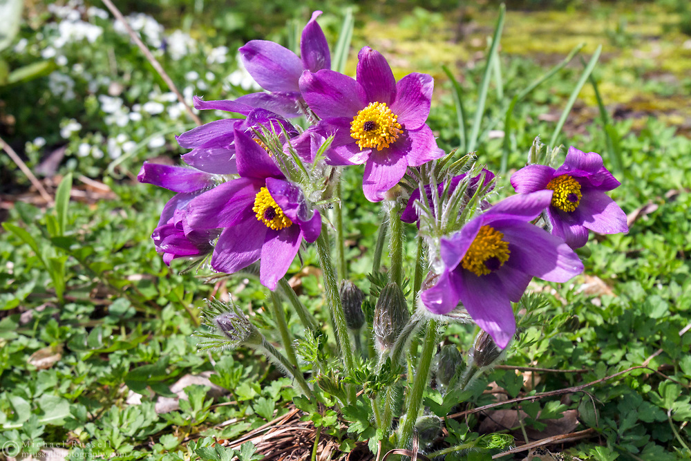 A group of Pasque flowers (Pulsatilla vulgaris - formerly named Anemone pulsatilla) blooming in spring in a backyard garden. Pasque flowers are usually some of the first blooms to appear in the spring garden after bulbs such as daffodils and bluebells.