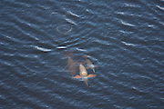 Amazon Pink River Dolphin or Boutu (Inia geoffrensis) Cuyabeno Reserve. Cuyabeno contains large tracts of permanently flooded forest.<br /> Amazon Rain Forest. ECUADOR. South America<br /> HABITAT & RANGE: Fresh water both turbid whitewaters and clear blackwaters. Amazon Basin, Orinoco Basin & Madeira River of Bolivia.<br /> These are diurnal and nocturanal mammals. Often solitary or in groups of 2 - 4. They feed on fish, crabs and turtles. When they surface to breath only a small portion of their backs are visible. The young are usually dark gray. Their colors vary from pale to pink.