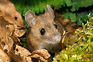 Wood Mouse Apodemus sylvaticus Length 15-22cm. Adult is a classic mouse-shape with pointed head, compact body and long tail. Coat is mainly yellowish brown above, with dark vertebral band along dorsal surface of head and body. Yellowish flank colour grades to whitish on underparts. Underground nest and tunnel network serve as a refuge. After dark, forages for seeds, nuts and fruits above ground; climbs well. Utters frantic squeals in distress. Common in woodland but also found in most other terrestrial habitats including scrub and gardens.