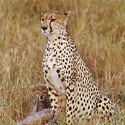 Cheetah, (Acinonyx jubatus) Portrait of mother and cub. Masai Mara Reserve. Kenya.