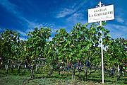 Vines at Chateau La Gaffeliere, 1er Grand Cru Classe, at St Emilion in Bordeaux wine region of France