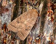 Close-up of a Rustic moth (Hoplodrina blanda) resting on tree bark in a Norfolk garden in summer