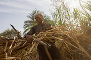 A local sugarcane cutter works in late-morning heat and dust near Qurna, a village on the West Bank of Luxor, Nile Valley, Egypt. In Egypt, sugar cane juice is called aseer asab and is by far the most popular drink served by almost all fruit juice vendors, who are abundant in most cities. It is sold by roadside vendors, where the juice is squeezed fresh when ordered. Raw sugar cane juice can be a health risk to drinkers due to the unhygienic conditions under which it is prepared. There are some diseases that can be transmitted by raw sugar-cane like Leptospirosis
