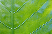Detail of a large leaf on a tropical plant.