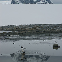 A Gentoo Penguin crosses a cove at Damoy Point on Wiencke Island, Antarctica. Behind is Mount Luigi, highest of  the Seven Sisters of Fief in the Fief Mountains.