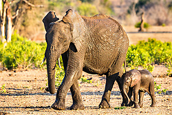 Cow and new calf Elephants roaming their little corner of South Africa.