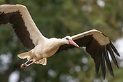 White stork (Ciconia ciconia) in flight. Sussex, UK.