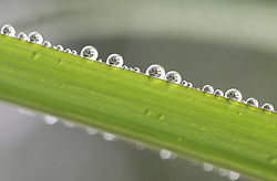 July 6, 2018 - Huayin, Huayin, China - Huaying, CHINA-Macro photography of dew on leaves in Huaying, southwest China's Sichuan Province. (Credit Image: © SIPA Asia via ZUMA Wire)