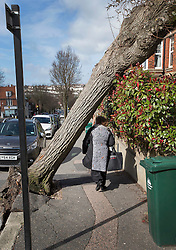 © Licensed to London News Pictures. 28/03/2016. Brighton, UK. A woman walks under a tree that has fallen onto the front of a house as storm Katie hits the south coast. Photo credit: Peter Macdiarmid/LNP