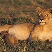 African Lion, (Panthera leo) Mother nursing cubs. Masai Mara Game Reserve. Kenya. Africa.