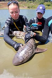 Katie Kent Working Up Leopard Shark