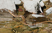 Aquatic garter snake, Thamnophis atratus, swimming in the South Fork of the Eel River, Mendocino County, California. This individual is most likely an intergrade between Thamnophis atratus atratus and Thamnophis atratus hydrophilus.