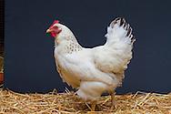 A chicken in an urban backyard in Portland, Oregon