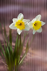 Two Daffodils arise from behind violet tinted glass