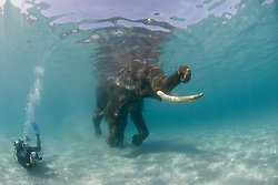 Underwater photograhper Jeff Yonover fins vigourously to keep pace with Rajan the Indian Elephant, Elephas maximus, who is out for his morning swim.  Retired from the logging industry, Rajan now resides at Havelock Island, Andaman Islands, Andaman Sea, India.