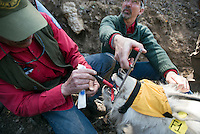 Wyoming Game & Fish biologist Gary Fralick, left, swabs the inside of the mountain goat's mouth while collecting samples from the sedated animal near Alpine.