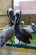 Brown Pelicans, Louisiana's State bird  at Fork Jackson in an enclosure where cleaned birds are kept.