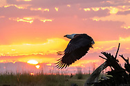 The iconic African Fish Eagle, which are plentiful in The Chobe, taking off at sunset.