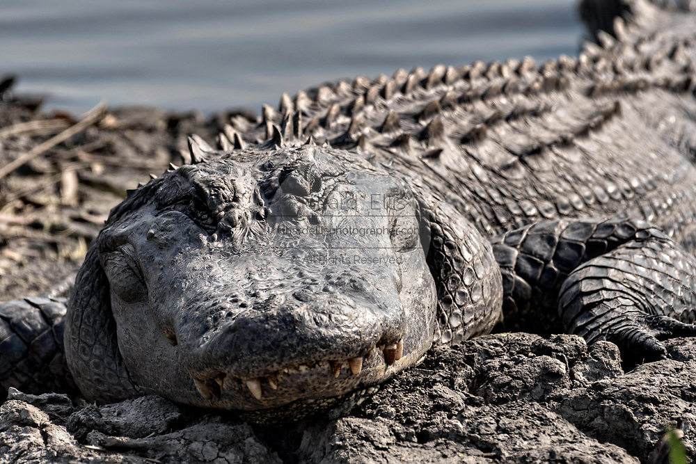A very large American alligator basks at the Donnelley Wildlife Management Area March 11, 2017 in Green Pond, South Carolina. The preserve is part of the larger ACE Basin nature refugee, one of the largest undeveloped estuaries along the Atlantic Coast of the United States.