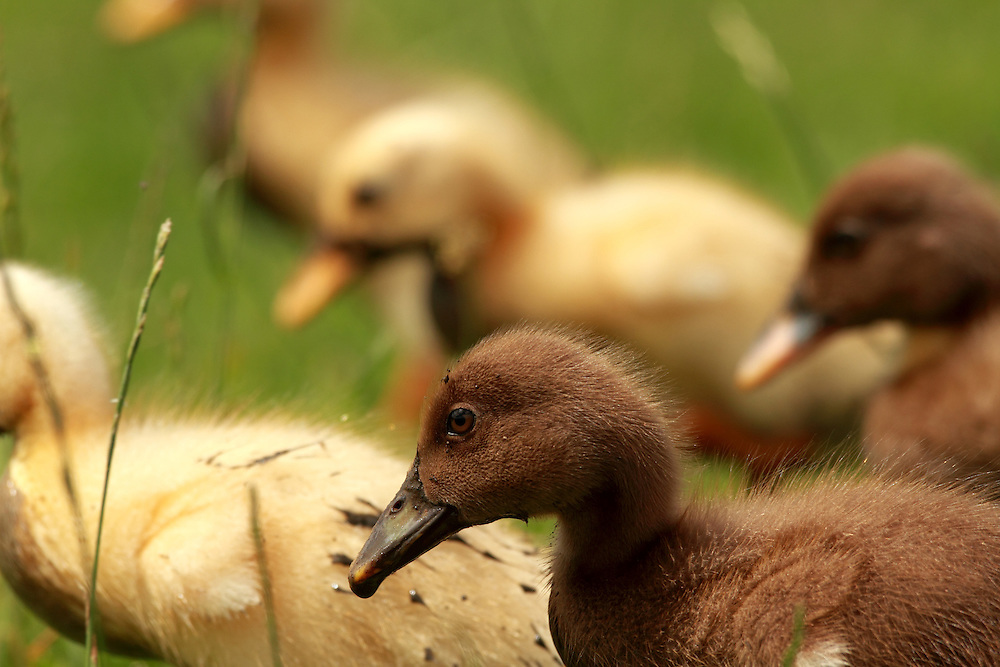A wild duck has made a safe home for her family at Black Sheep Animal Sanctuary
