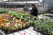Garden Centre plant nursery, Ladybird Nursery, Gromford, Suffolk, England Model Released. Woman in Garden Centre plant nursery, Ladybird Nursery, Gromford, Suffolk, England