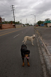 23 Sept 2005. Port Arthur, Texas.  Hurricane Rita evacuation. <br /> Dogs, cut loose to run free roam the deserted streets of downtown Port Arthur, evacuated by almost all residents.  <br /> Photo; ©Charlie Varley/varleypix.com