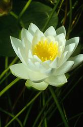 Nymphaea alba, Weiße Seerose, white waterlily, Pressegger See, Oesterreich