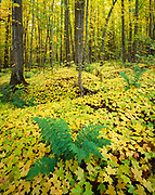 Ferns with hundreds of sugar maple seedlings in sugar maple forest, near Great Conglomerate Falls on the Black River, Ottawa National Forest, Upper Peninsula of Michigan.