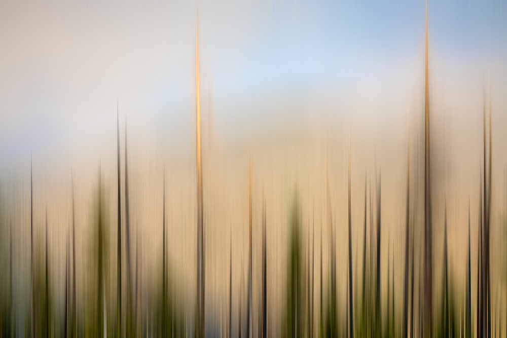 Open Edtion<br /> Lodgepole Pine trees in blur motion on a Montana Summit in Summer Sunset