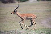 Male impala running in open grassland