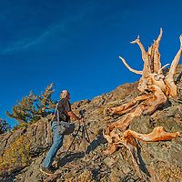 A photographer takes pictures of fall-colored aspens in Bishop Creek Canyon in the eastern Sierra Nevada above Bishop, California.
