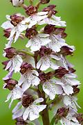 Lady Orchid, Orchis purpurea, Stockbury Hill Woodland, Kent Wildlife Trust, UK, close up