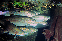 Salmon Tank